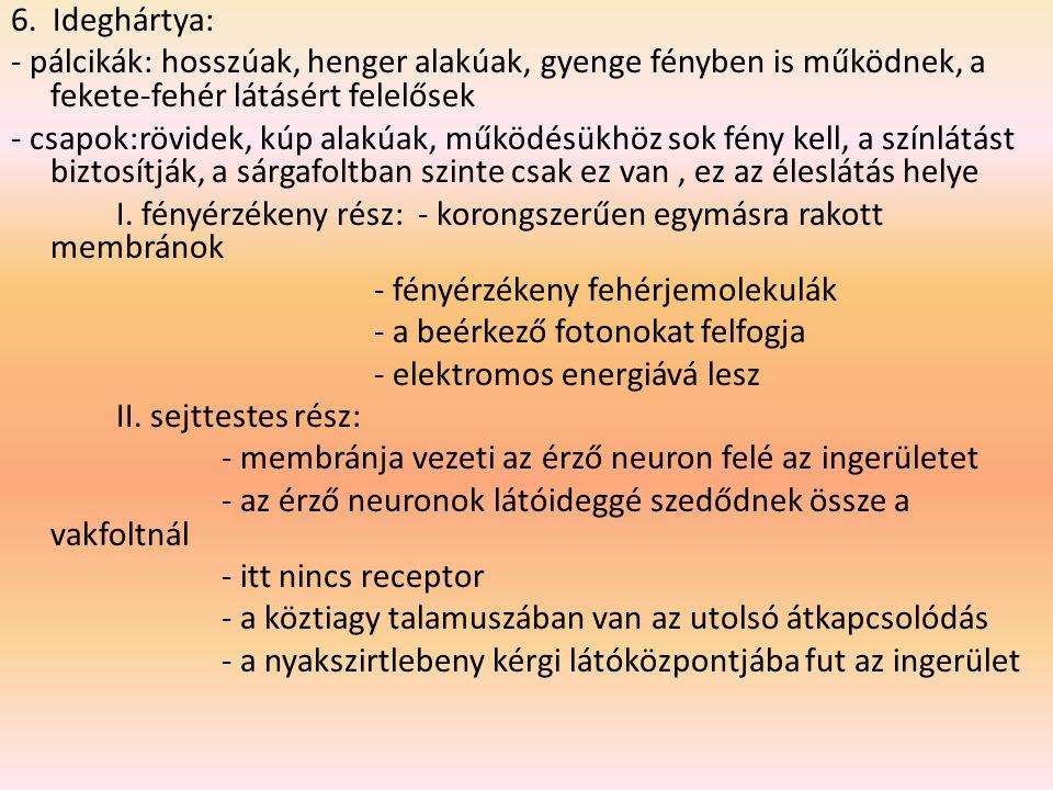 a látás folyamata: a fény útja az ideghártyáig 1.szaruhártya: fénytörő közeg 2.Csarnokvíz: víztiszta, szemcsarnokokban van, a sugártest hajszálerei termelik - elülső szemcsarnok (szaruhártya – szivárványhártya) - hátulsó szemcsarnok (szivárványhártya – szemlencse) 3.Pupilla: a fényerőt szabályozza 4.Szemlencse 5.üvegtest
