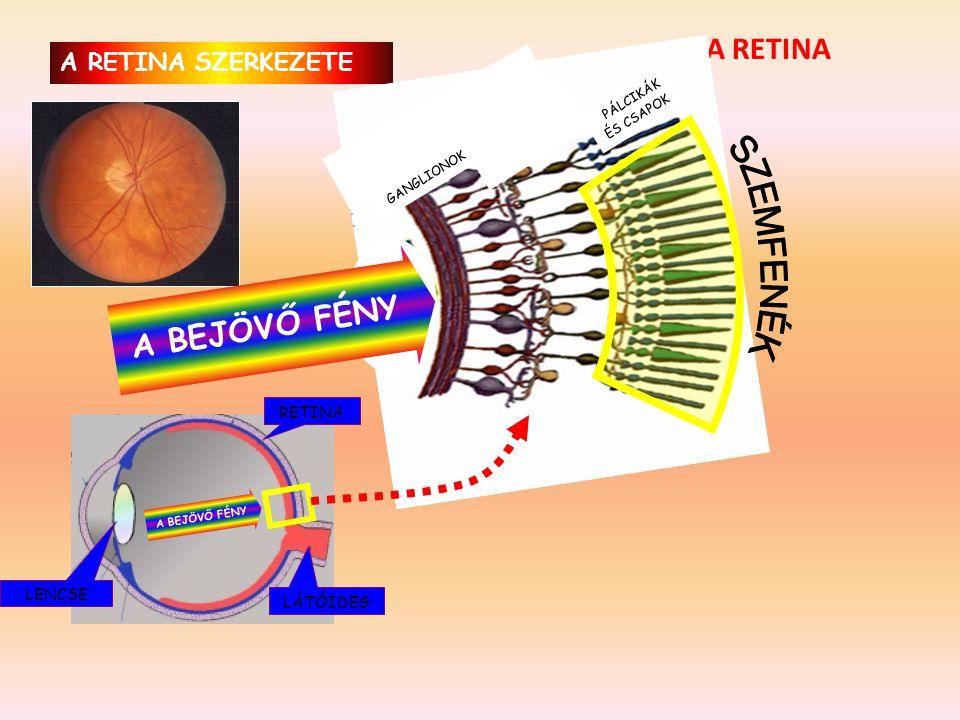 • A pupilla gyenge fényben kitágul, erős fényben összeszűkül, ezzel szabályozza a retinára jutó fény mennyiségét. 3.Az ideg- vagy recehártya (retina)
