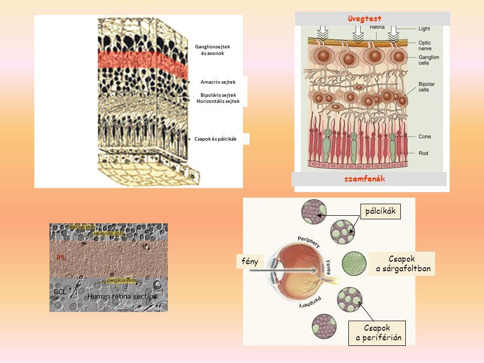 Csapok a sárgafoltban Csapok a periférián pálcikák fény szemfenék üvegtest Ganglionsejtek és axonok Amacrin sejtek Bipoláris sejtek Horizontális sejtek Csapok és pálcikák
