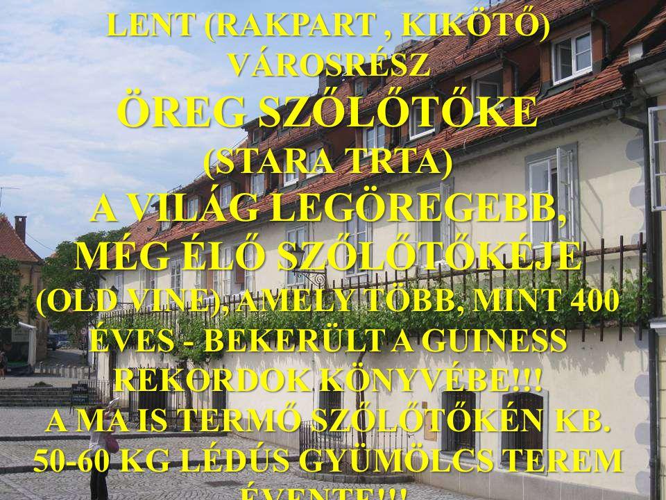 LENT (RAKPART, KIKÖTŐ) VÁROSRÉSZ ÖREG SZŐLŐTŐKE (STARA TRTA) A VILÁG LEGÖREGEBB, MÉG ÉLŐ SZŐLŐTŐKÉJE (OLD VINE), AMELY TÖBB, MINT 400 ÉVES - BEKERÜLT A GUINESS REKORDOK KÖNYVÉBE!!.