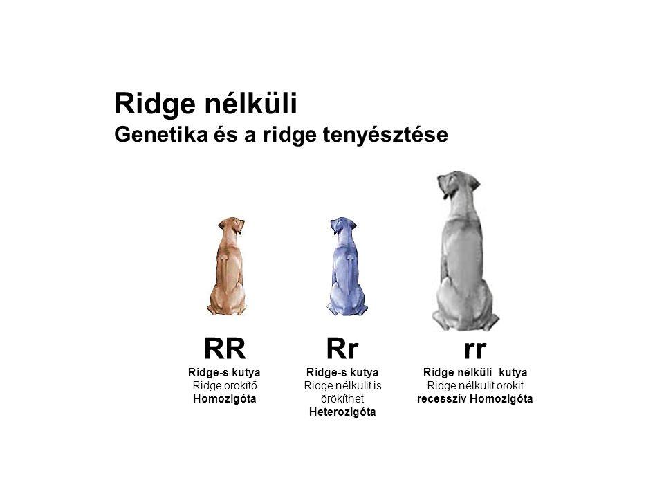 Ridge nélküli Genetika és a ridge tenyésztése RR Ridge-s kutya Ridge örökítő Homozigóta Rr Ridge-s kutya Ridge nélkülit is örökíthet Heterozigóta rr R