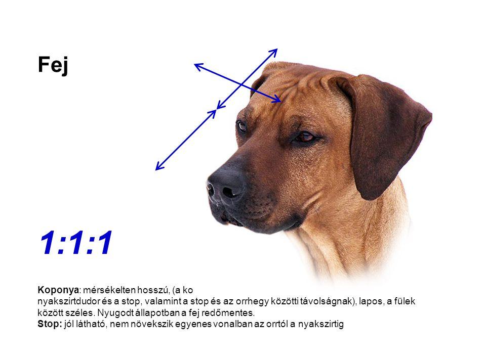 Fej 1:1:1 Koponya: mérsékelten hosszú, (a koponya fülek közötti szélessége megfelel a nyakszirtdudor és a stop, valamint a stop és az orrhegy közötti
