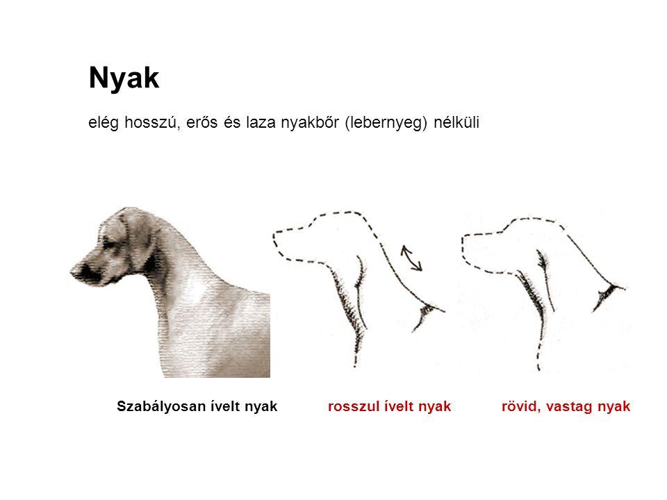 elég hosszú, erős és laza nyakbőr (lebernyeg) nélküli Nyak Szabályosan ívelt nyak rosszul ívelt nyak rövid, vastag nyak