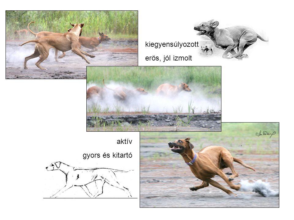 Ridge nélküli Genetika és a ridge tenyésztése RR Ridge-s kutya Ridge örökítő Homozigóta Rr Ridge-s kutya Ridge nélkülit is örökíthet Heterozigóta rr Ridge nélküli kutya Ridge nélkülit örökit recesszív Homozigóta
