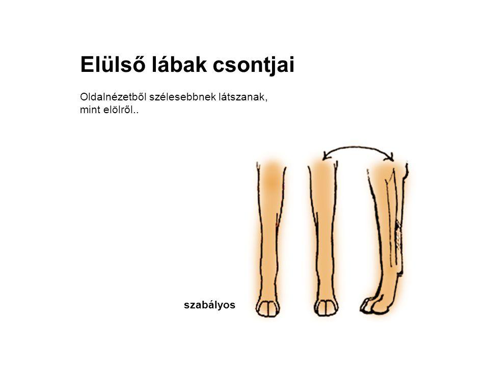 Elülső lábak csontjai Oldalnézetből szélesebbnek látszanak, mint elölről.. szabályos