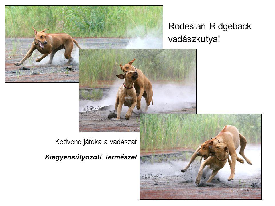 Rodesian Ridgeback vadászkutya! Kedvenc játéka a vadászat Kiegyensúlyozott természet