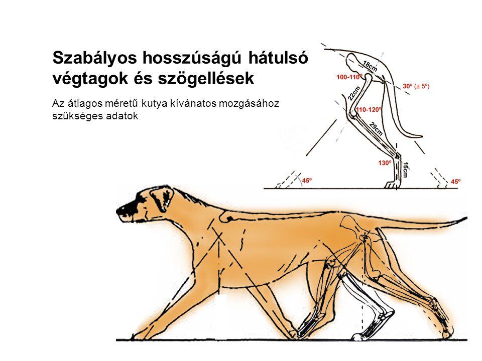 Az átlagos méretű kutya kívánatos mozgásához szükséges adatok Szabályos hosszúságú hátulsó végtagok és szögellések
