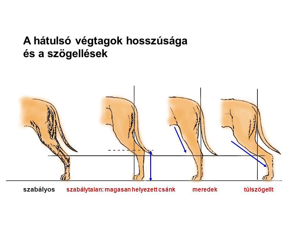 A hátulsó végtagok hosszúsága és a szögellések szabályos szabálytalan: magasan helyezett csánk meredek túlszögellt