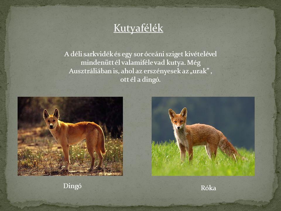 """Kutyafélék A déli sarkvidék és egy sor óceáni sziget kivételével mindenütt él valamiféle vad kutya. Még Ausztráliában is, ahol az erszényesek az """"urak"""