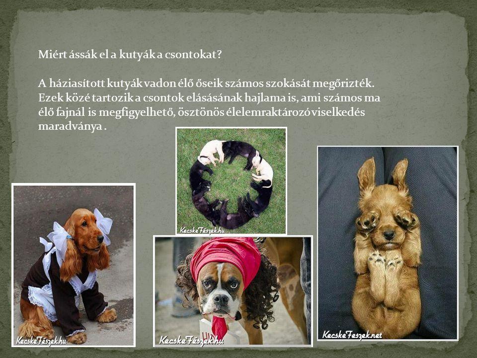 Miért ássák el a kutyák a csontokat? A háziasított kutyák vadon élő őseik számos szokását megőrizték. Ezek közé tartozik a csontok elásásának hajlama