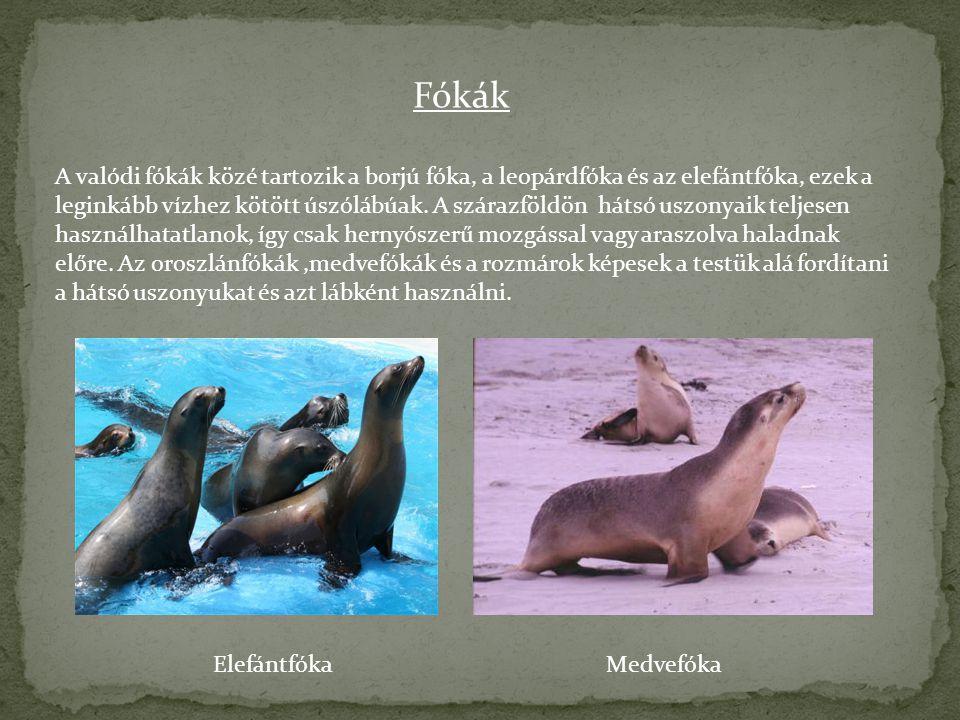 Fókák A valódi fókák közé tartozik a borjú fóka, a leopárdfóka és az elefántfóka, ezek a leginkább vízhez kötött úszólábúak. A szárazföldön hátsó uszo