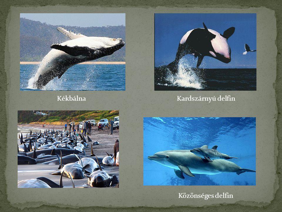 KékbálnaKardszárnyú delfin Közönséges delfin