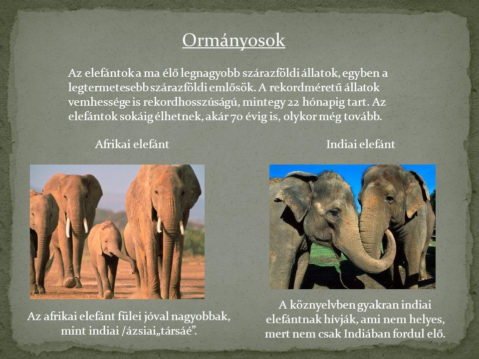 Ormányosok Az elefántok a ma élő legnagyobb szárazföldi állatok, egyben a legtermetesebb szárazföldi emlősök. A rekordméretű állatok vemhessége is rek