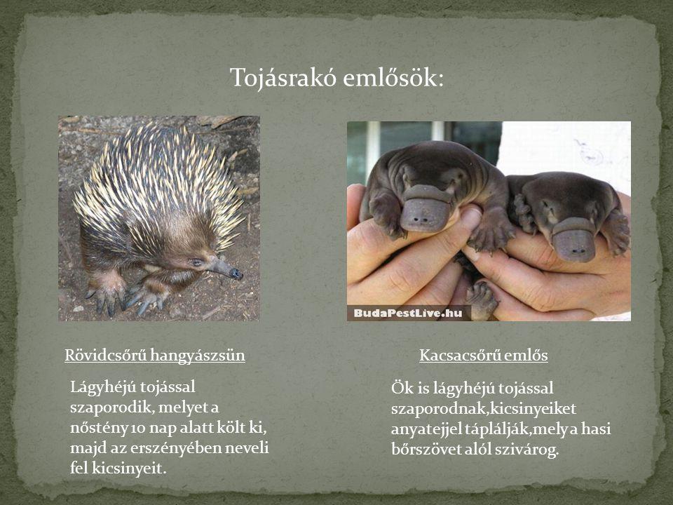 Tojásrakó emlősök: Rövidcsőrű hangyászsünKacsacsőrű emlős Lágyhéjú tojással szaporodik, melyet a nőstény 10 nap alatt költ ki, majd az erszényében nev