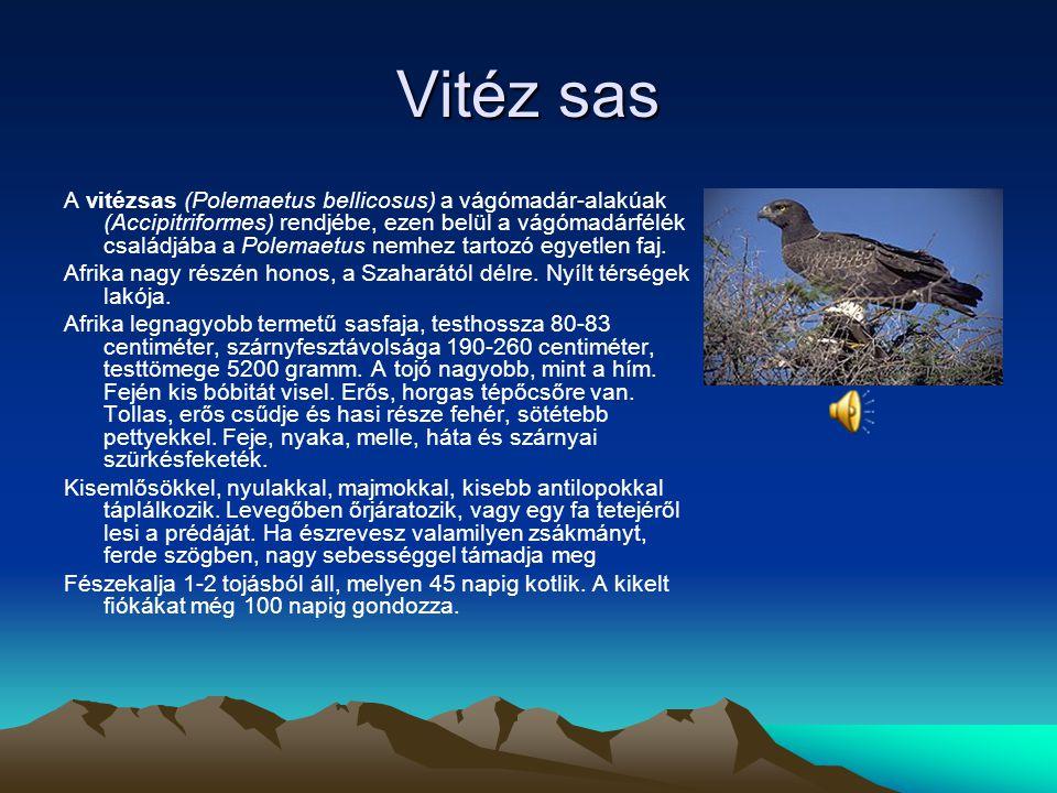 Ibériai sas Az ibériai sas (Aquila adalberti) a vágómadár-alakúak (Accipitriformes) rendjébe, ezen belül a vágómadárfélék (Accipitridae) családjába ta