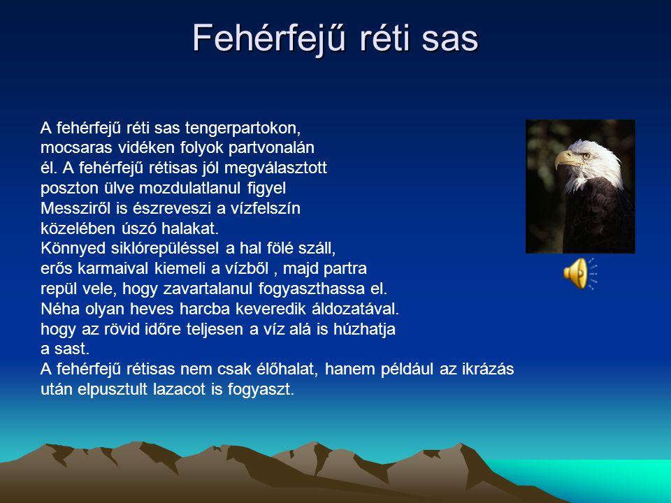 Bóbitás sas A bóbitás sas Afrikában.a Szaharátol Délre fordul elő. Kerüli az erdővel, Sűrűn borított vidéket. A bóbitás sas fákon fészkel, ágvillákban
