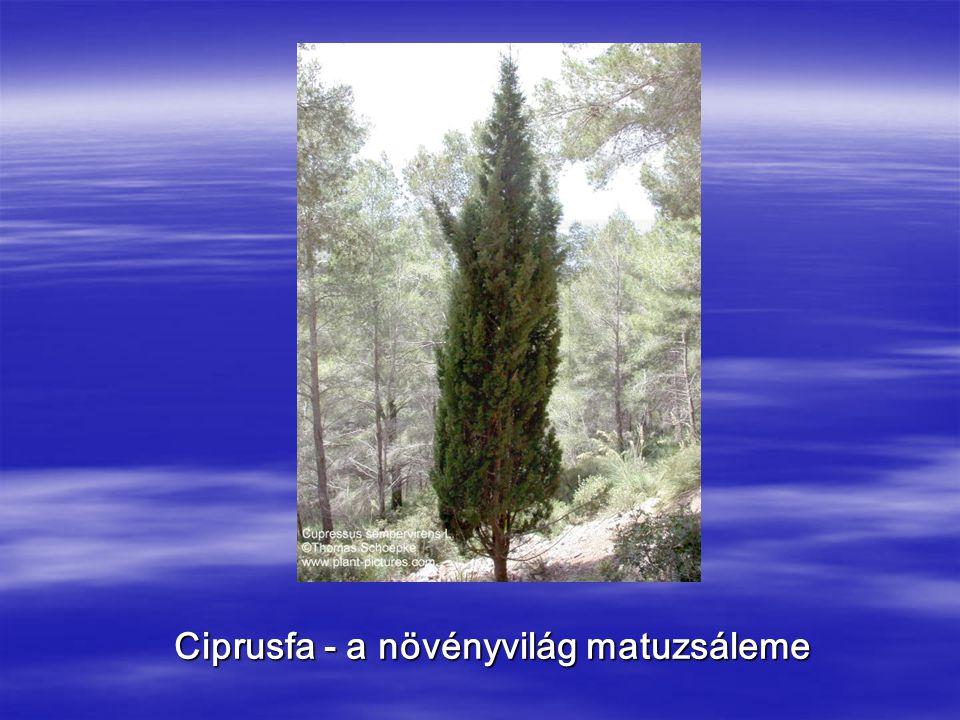 Ciprusfa - a növényvilág matuzsáleme