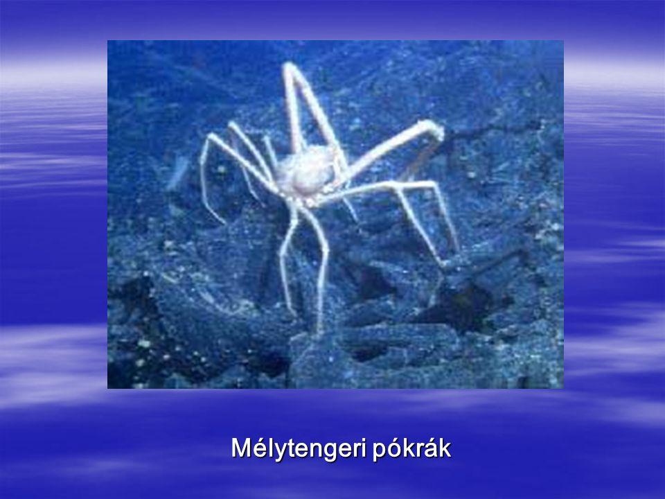 Mélytengeri pókrák