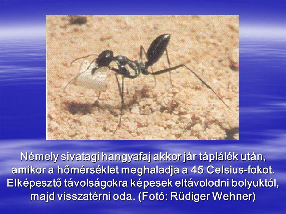 Némely sivatagi hangyafaj akkor jár táplálék után, amikor a hőmérséklet meghaladja a 45 Celsius-fokot. Elképesztő távolságokra képesek eltávolodni bol