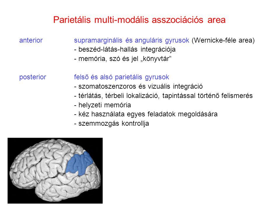"""Parietális multi-modális asszociációs area anteriorsupramarginális és anguláris gyrusok (Wernicke-féle area) - beszéd-látás-hallás integrációja - memória, szó és jel """"könyvtár posteriorfelső és alsó parietális gyrusok - szomatoszenzoros és vizuális integráció - térlátás, térbeli lokalizáció, tapintással történő felismerés - helyzeti memória - kéz használata egyes feladatok megoldására - szemmozgás kontrollja"""