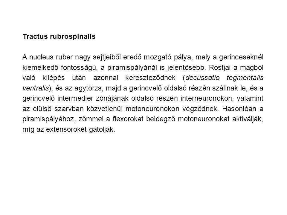 Tractus rubrospinalis A nucleus ruber nagy sejtjeiből eredő mozgató pálya, mely a gerinceseknél kiemelkedő fontosságú, a piramispályánál is jelentőseb