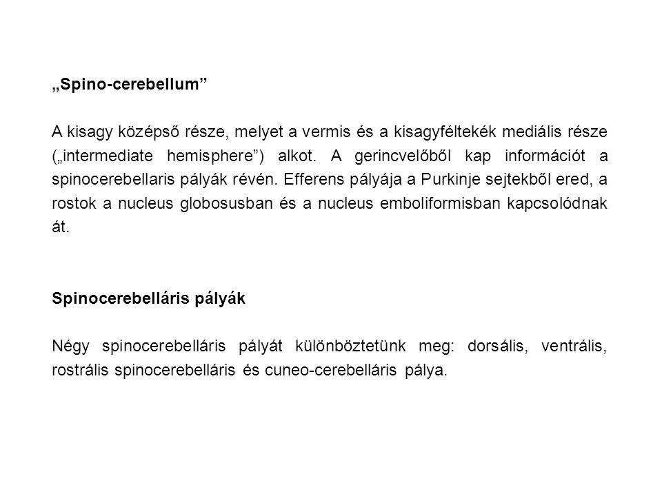 """""""Spino-cerebellum A kisagy középső része, melyet a vermis és a kisagyféltekék mediális része (""""intermediate hemisphere ) alkot."""