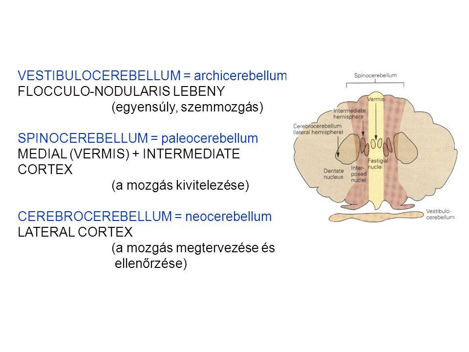VESTIBULOCEREBELLUM = archicerebellum FLOCCULO-NODULARIS LEBENY (egyensúly, szemmozgás) SPINOCEREBELLUM = paleocerebellum MEDIAL (VERMIS) + INTERMEDIATE CORTEX (a mozgás kivitelezése) CEREBROCEREBELLUM = neocerebellum LATERAL CORTEX (a mozgás megtervezése és ellenőrzése)
