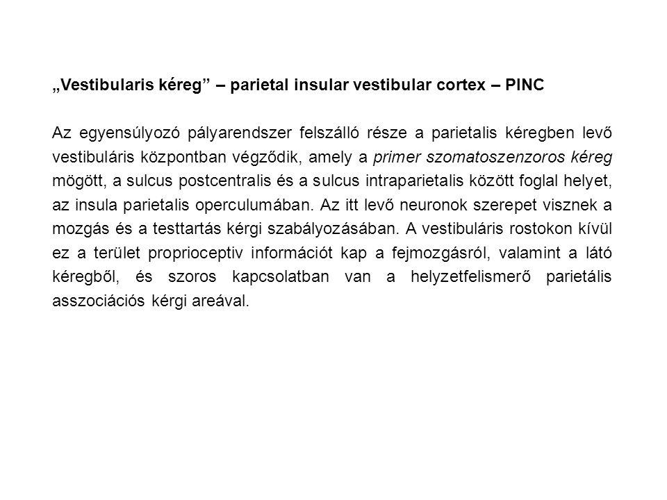 """""""Vestibularis kéreg – parietal insular vestibular cortex – PINC Az egyensúlyozó pályarendszer felszálló része a parietalis kéregben levő vestibuláris központban végződik, amely a primer szomatoszenzoros kéreg mögött, a sulcus postcentralis és a sulcus intraparietalis között foglal helyet, az insula parietalis operculumában."""
