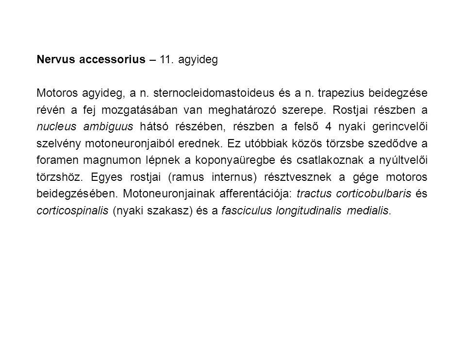 Nervus accessorius – 11.agyideg Motoros agyideg, a n.