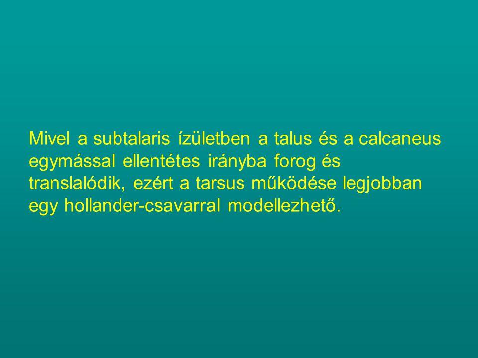 Mivel a subtalaris ízületben a talus és a calcaneus egymással ellentétes irányba forog és translalódik, ezért a tarsus működése legjobban egy hollander-csavarral modellezhető.