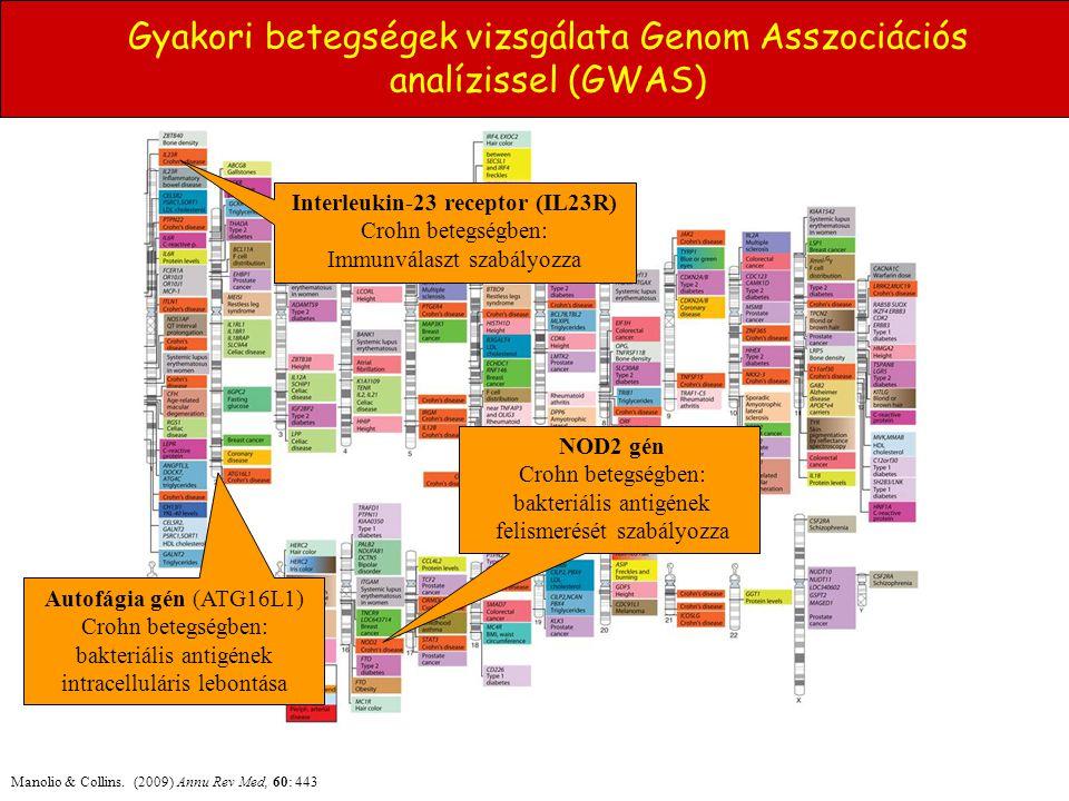 Gyakori betegségek vizsgálata Genom Asszociációs analízissel (GWAS) Manolio & Collins. (2009) Annu Rev Med, 60: 443 Autofágia gén (ATG16L1) Crohn bete