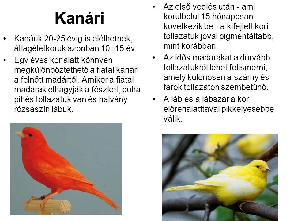 Kanári •Kanárik 20-25 évig is elélhetnek, átlagéletkoruk azonban 10 -15 év. •Egy éves kor alatt könnyen megkülönböztethető a fiatal kanári a felnőtt m