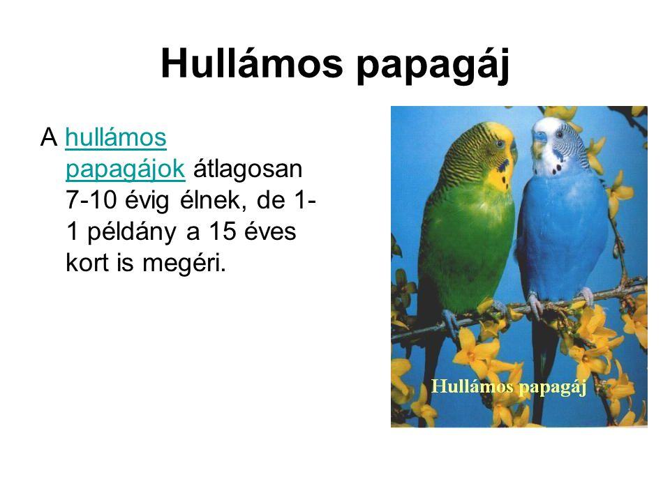 Hullámos papagáj A hullámos papagájok átlagosan 7-10 évig élnek, de 1- 1 példány a 15 éves kort is megéri.hullámos papagájok