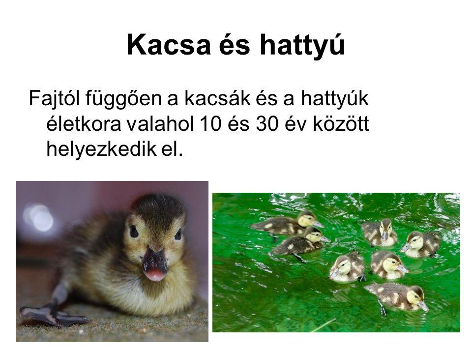 Kacsa és hattyú Fajtól függően a kacsák és a hattyúk életkora valahol 10 és 30 év között helyezkedik el.