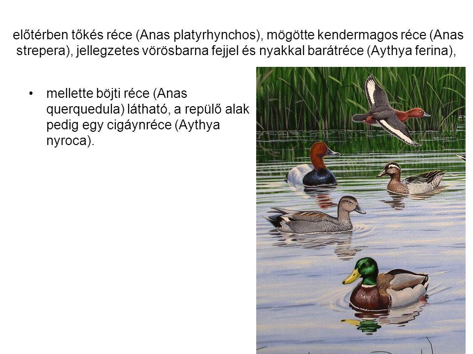 előtérben tőkés réce (Anas platyrhynchos), mögötte kendermagos réce (Anas strepera), jellegzetes vörösbarna fejjel és nyakkal barátréce (Aythya ferina), •mellette böjti réce (Anas querquedula) látható, a repülő alak pedig egy cigáynréce (Aythya nyroca).