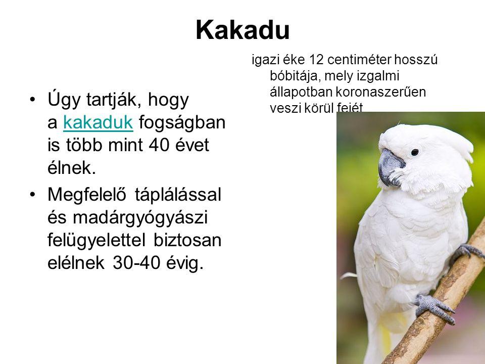 Kakadu •Úgy tartják, hogy a kakaduk fogságban is több mint 40 évet élnek.kakaduk •Megfelelő táplálással és madárgyógyászi felügyelettel biztosan eléln