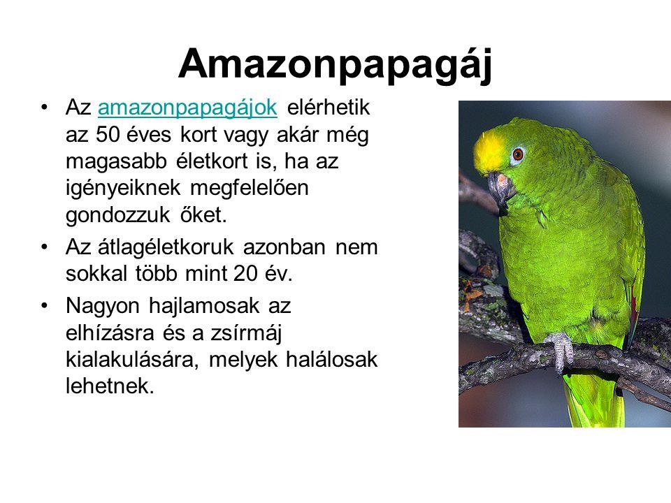 Amazonpapagáj •Az amazonpapagájok elérhetik az 50 éves kort vagy akár még magasabb életkort is, ha az igényeiknek megfelelően gondozzuk őket.amazonpapagájok •Az átlagéletkoruk azonban nem sokkal több mint 20 év.