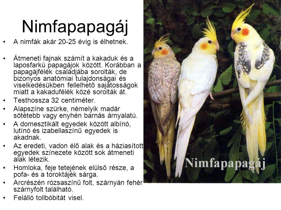 Nimfapapagáj •A nimfák akár 20-25 évig is élhetnek. •Átmeneti fajnak számít a kakaduk és a laposfarkú papagájok között. Korábban a papagájfélék család
