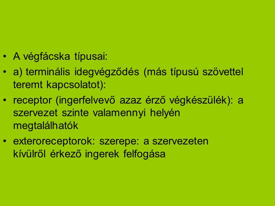 •A végfácska típusai: •a) terminális idegvégződés (más típusú szövettel teremt kapcsolatot): •receptor (ingerfelvevő azaz érző végkészülék): a szervez