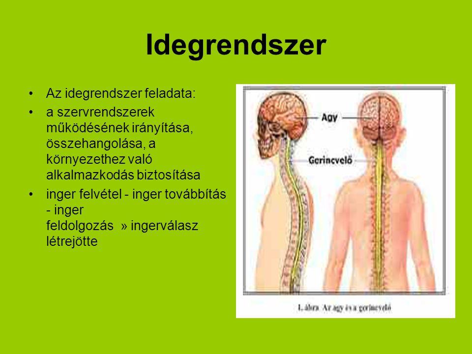 •Az idegrendszer feladata: •a szervrendszerek működésének irányítása, összehangolása, a környezethez való alkalmazkodás biztosítása •inger felvétel -