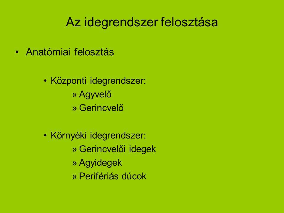 Az idegrendszer felosztása •Anatómiai felosztás •Központi idegrendszer: »Agyvelő »Gerincvelő •Környéki idegrendszer: »Gerincvelői idegek »Agyidegek »P