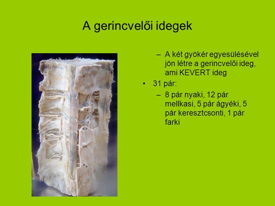 A gerincvelői idegek –A két gyökér egyesülésével jön létre a gerincvelői ideg, ami KEVERT ideg •31 pár: –8 pár nyaki, 12 pár mellkasi, 5 pár ágyéki, 5