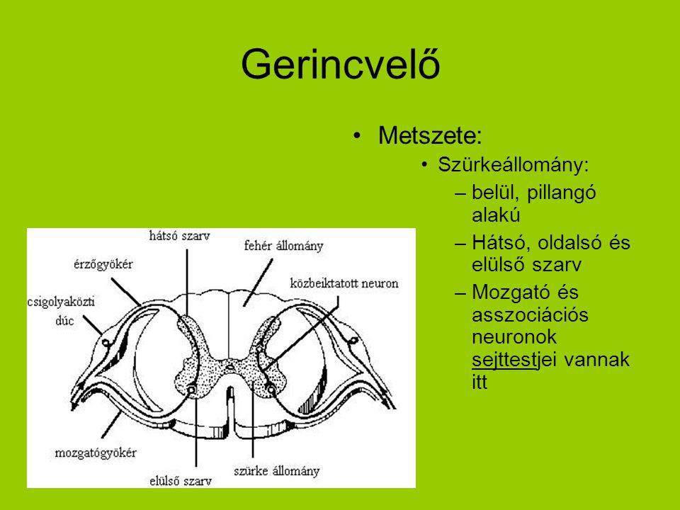 Gerincvelő •Metszete: •Szürkeállomány: –belül, pillangó alakú –Hátsó, oldalsó és elülső szarv –Mozgató és asszociációs neuronok sejttestjei vannak itt