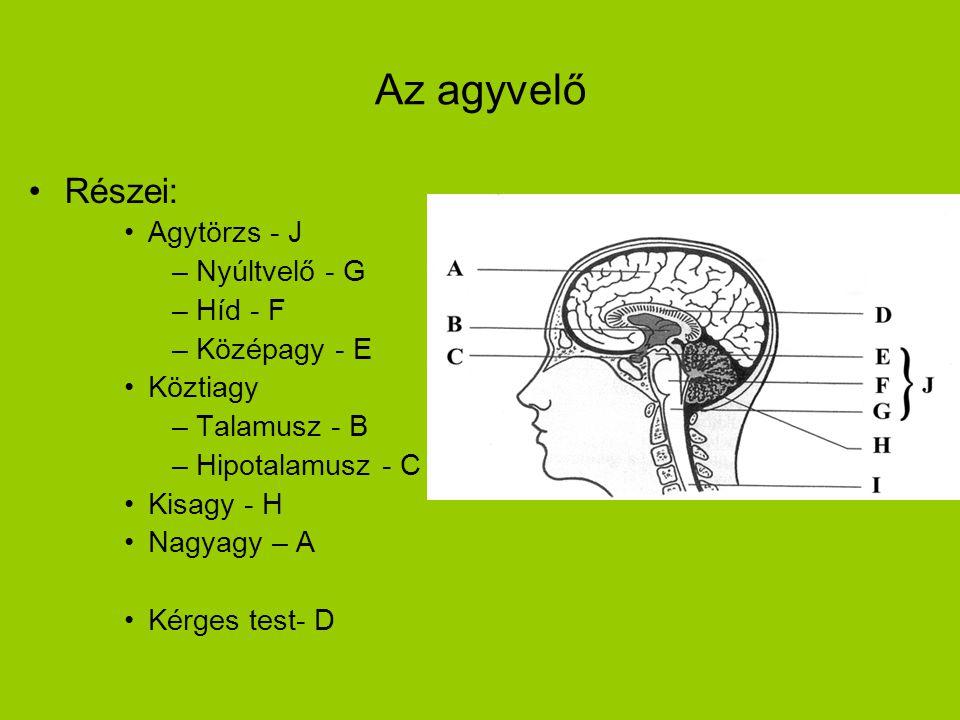 Az agyvelő •Részei: •Agytörzs - J –Nyúltvelő - G –Híd - F –Középagy - E •Köztiagy –Talamusz - B –Hipotalamusz - C •Kisagy - H •Nagyagy – A •Kérges tes