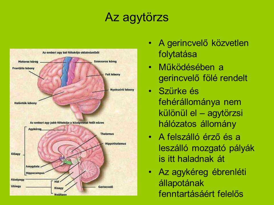 Az agytörzs •A gerincvelő közvetlen folytatása •Működésében a gerincvelő fölé rendelt •Szürke és fehérállománya nem különül el – agytörzsi hálózatos á