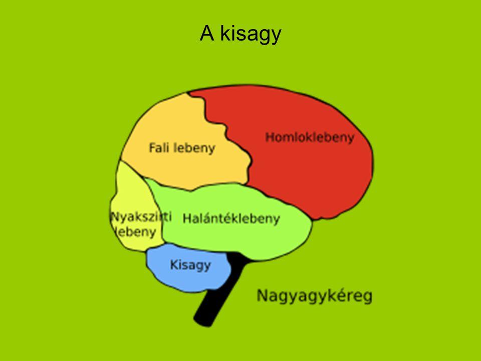 A kisagy