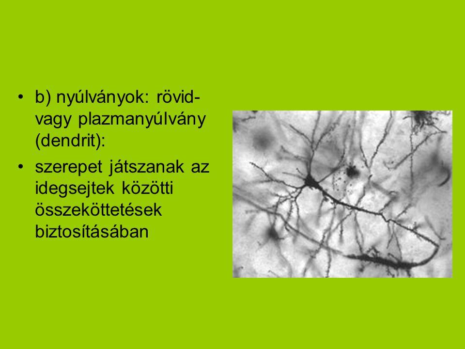 •b) nyúlványok: rövid- vagy plazmanyúlvány (dendrit): •szerepet játszanak az idegsejtek közötti összeköttetések biztosításában