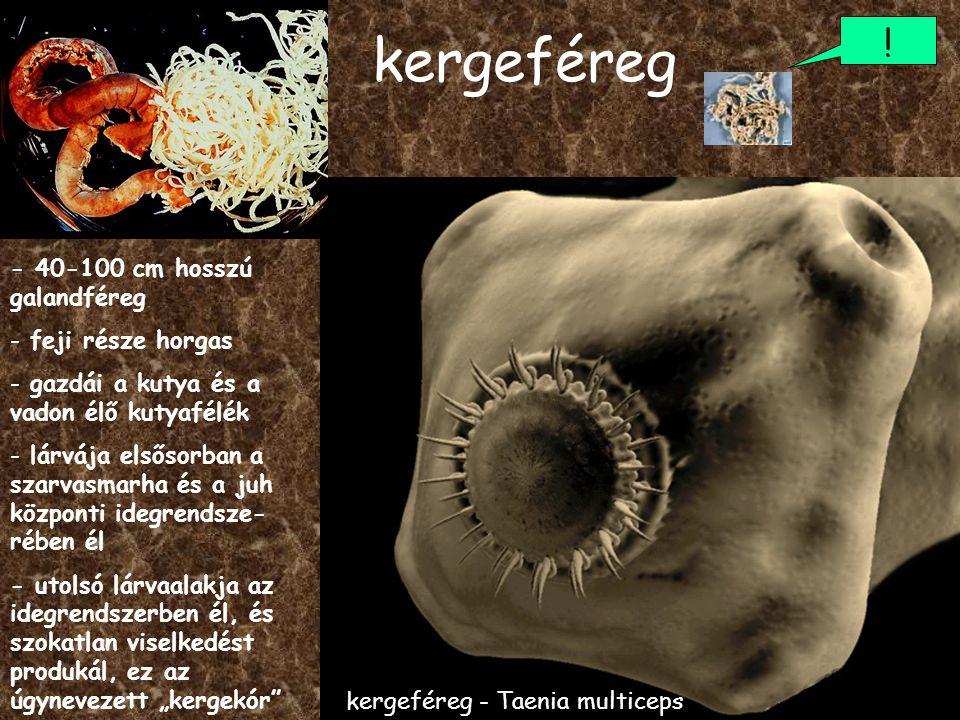kergeféreg - 40-100 cm hosszú galandféreg - feji része horgas - gazdái a kutya és a vadon élő kutyafélék - lárvája elsősorban a szarvasmarha és a juh