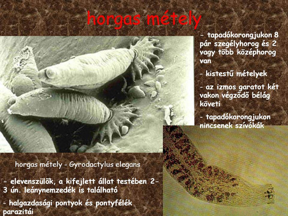 horgas métely horgas métely - Gyrodactylus elegans - tapadókorongjukon 8 pár szegélyhorog és 2 vagy több középhorog van - kistestű mételyek - az izmos garatot két vakon végződő bélág követi - tapadókorongjukon nincsenek szívókák - elevenszülõk, a kifejlett állat testében 2- 3 ún.