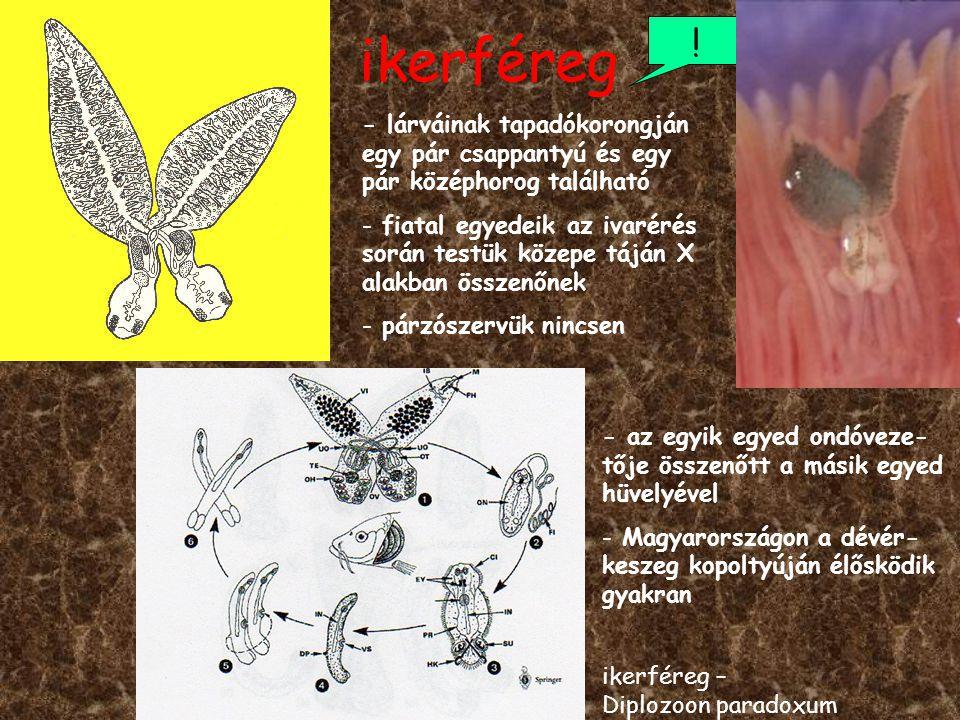 ikerféreg ! ikerféreg – Diplozoon paradoxum - lárváinak tapadókorongján egy pár csappantyú és egy pár középhorog található - fiatal egyedeik az ivarér